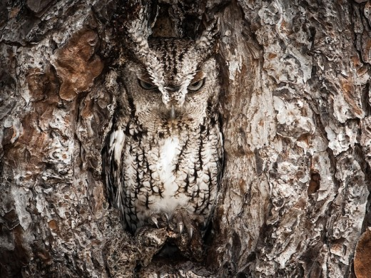 Masters of disguise. The Eastern Screech Owl is seen here doing what they do best. You better have a sharp eye to spot these little birds of prey.