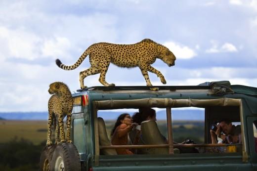 Cheetahs jumped on the vehicle of tourists in Masai Mara national park, Kenya.