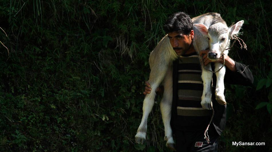 Raising Cattle (Place: Taken in Lamjung, Nepal on Gurung Heritage Trail) Abhinab Bahadur Basnyat