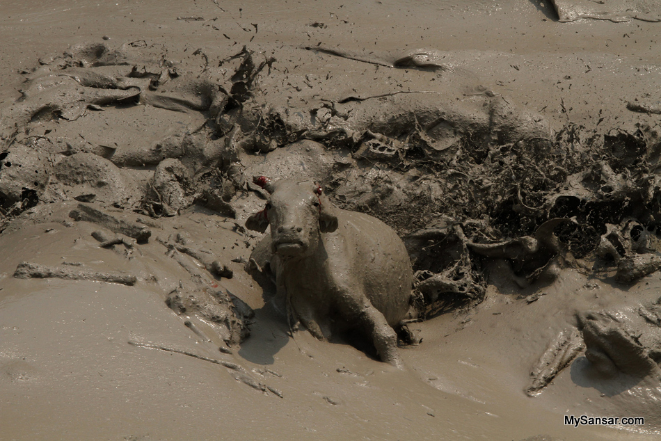 A buffalo is stranded at the gandaki river due to the floods brought by the avalance at annapurna region.10 people are feared to be dead and several others are suspected to be dead due to the disaster.Pokhara,Nepal. Photo: Bijaya Babu Neupane