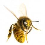 Bee-Indiividual-