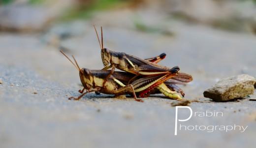 Grasshopper sex