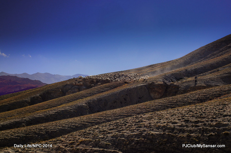 A solitary shepherd guides his cattle for grazing in the limited high pastures of Mustang.  Photo: Dev Dongol