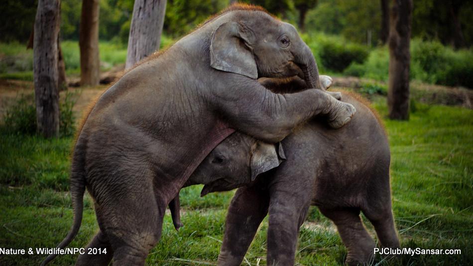 Two elephant calves play with each other. Photo: Subash Bahadur  Bista