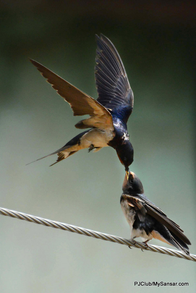 Birds bond and show their affection for each other by regurgitating food. Photo: Ayush Man Kayastha Nepal