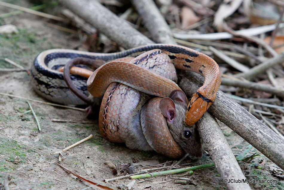 A python wraps its coil around the mouse to squeeze its breath out before devouring it all down. Photo: Rajesh Dongol