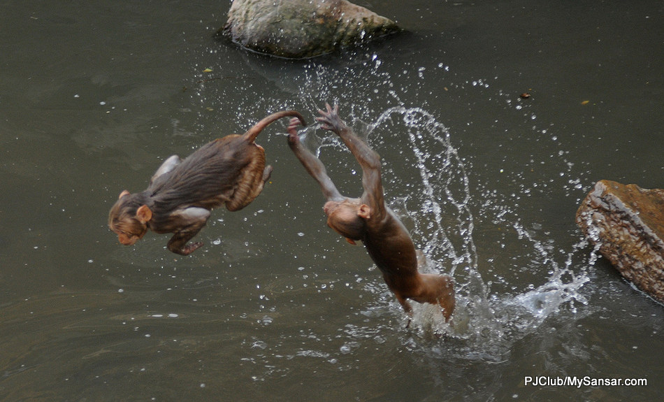 Two rhesus macaque monkeys perform acrobatics as they seek solace from the heat in the Bagmati River. Kathmandu's temperature has witnessed a gradual rise in the past decade. Photo: Dipesh Shrestha