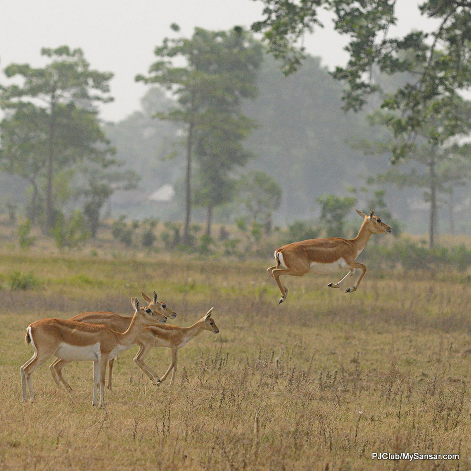 A Black Buck jumps in the forests of Khailapur in Baridya, far-west Nepal. Baridya is the last wild sanctuary in Nepal and is home to a number of exotic wildlife including the Royal Bengal Tigers. Photo: Yatra Thulung Rai