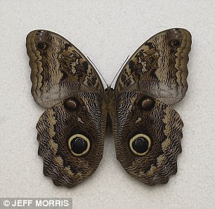 004AF04B00000258-0-Owl_butterflies_left_have_eye_spots_that_mimic_those_of_pigmy_ow-a-13_1428509926294