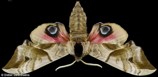 27607AC000000578-0-Some_entomologists_claim_the_eyed_hawk_moth_looks_like_the_face_-a-37_1428510800414